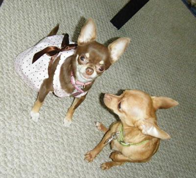 My Two Little Chihuahuas