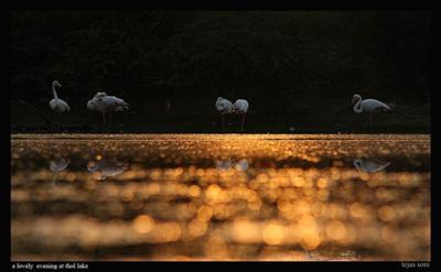 Golden Evening With Flamingos