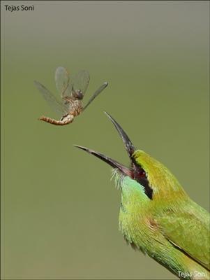 Green Bee Eater - Thol Lake, Mehsana, Guajarat