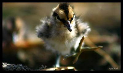 Painted Snipe Chick (Rostratula Benghalensis)
