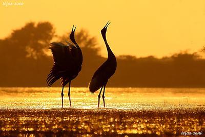 Sarus Cranes - Thol Lake, Mehsana, Gujarat