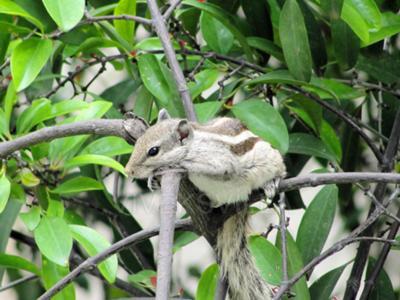 Squirrel In Mumbai - A Rare One