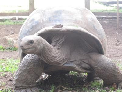 The Giant Tortoise