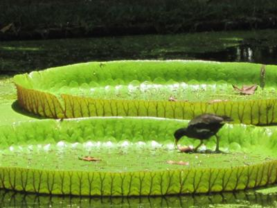 Water Lillies & their lonesome visitor