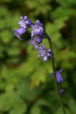 Beautiful Nature Photography & Wildlife Photography Of Bluebells At Glenariff Forest Park