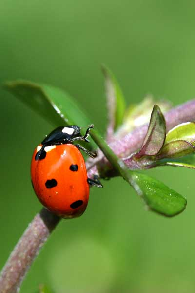 Close-up Or Macro Shot Of A Ladybug On A Leaf