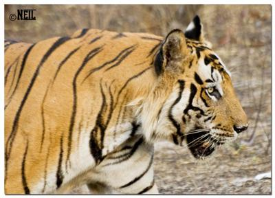 B2 The Tiger From Bandavgarh Forest