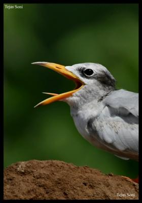 Photo of a River Tern